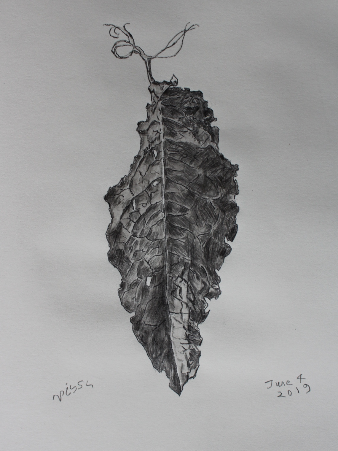 dock leaf drawing